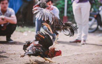 Fitur Di S1288 Situs Sabung Ayam