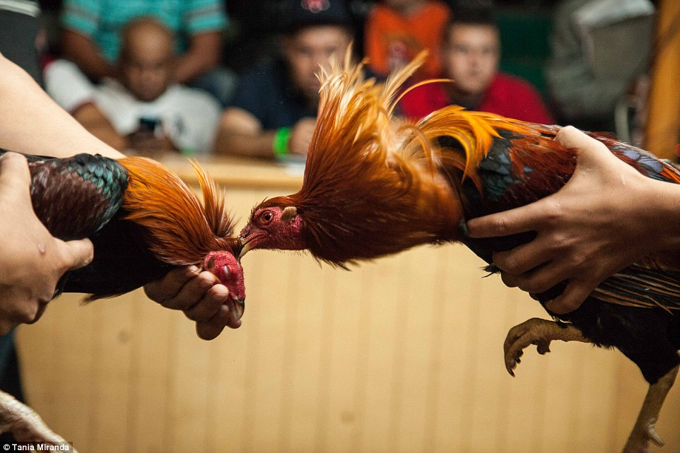 Tips Terbaik Cara Memilih Ayam Sabung di Situs S128